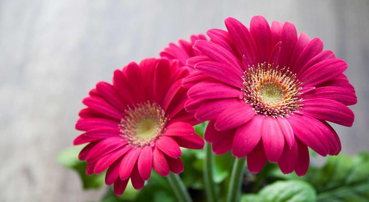 二輪の赤い花